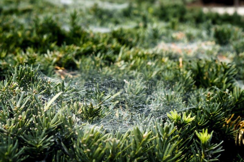 Den tunna spindelrengöringsduken sörjer på filialer av gran-trädet fotografering för bildbyråer