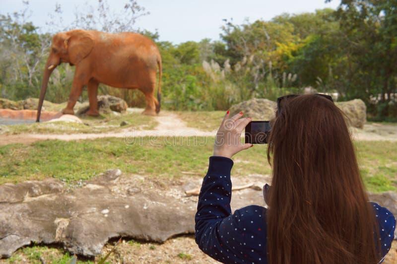 Den turist- flickan tar ett telefonfoto av den afrikanska elefanten i den Miami tunnelbanazoo fotografering för bildbyråer