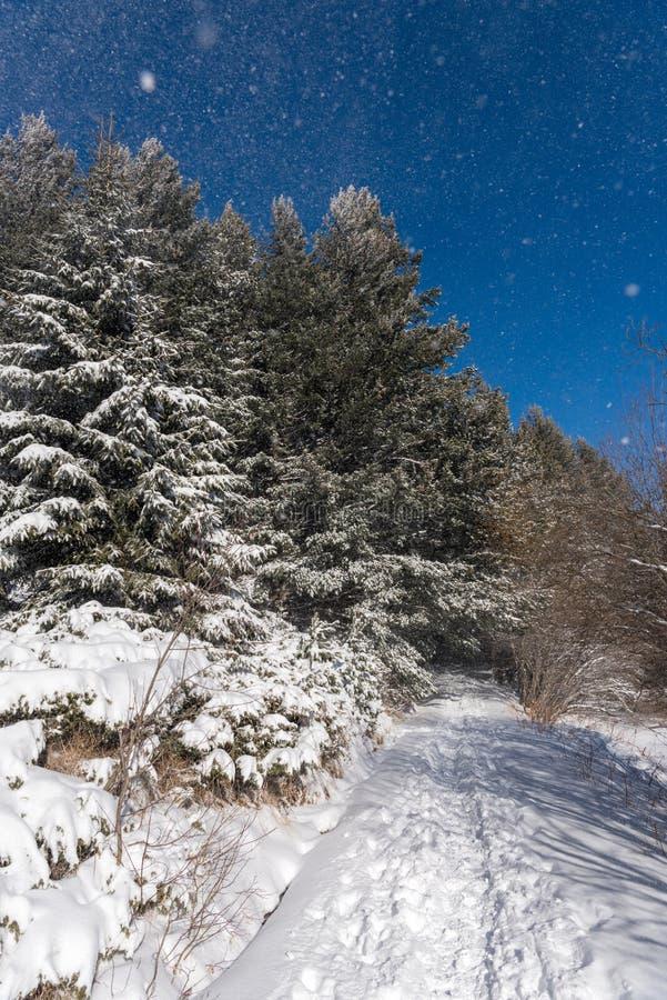 Den turist- slingan i vintrigt berg med snö täckte barrträd royaltyfri bild