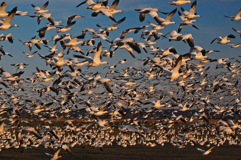 Den tusentals snögässen tar flyg arkivfoton