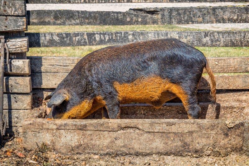 Den typiska och speciala ungerska svinspecien Mangalica, det betyder vems kött innehåller mycket liten kolesterol arkivfoto