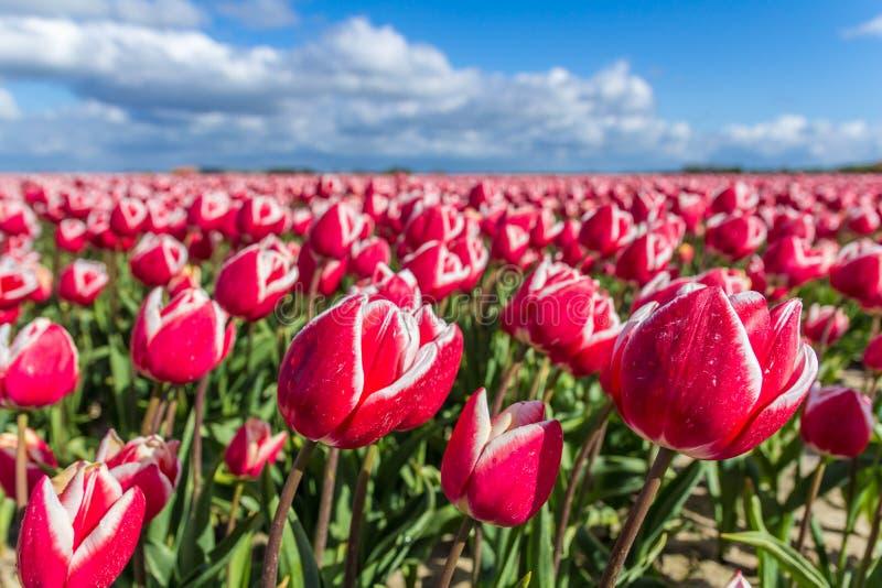 Den typiska vibrerande holländska tulpan sätter in på våren closeupen royaltyfri foto