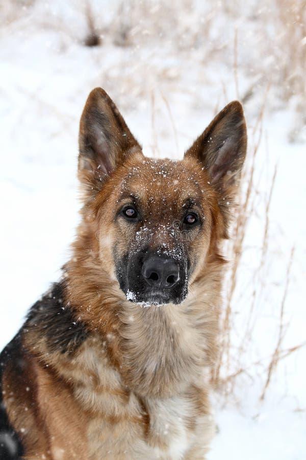 Den tyska herden förföljer i snow arkivbild