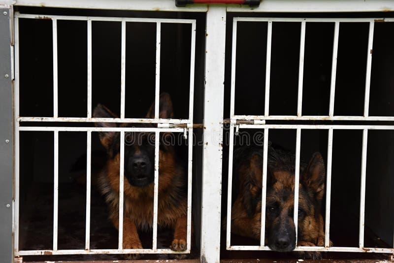 Den tyska herden förföljer Två hundkapplöpning låsas upp i en bur på en släp royaltyfria foton