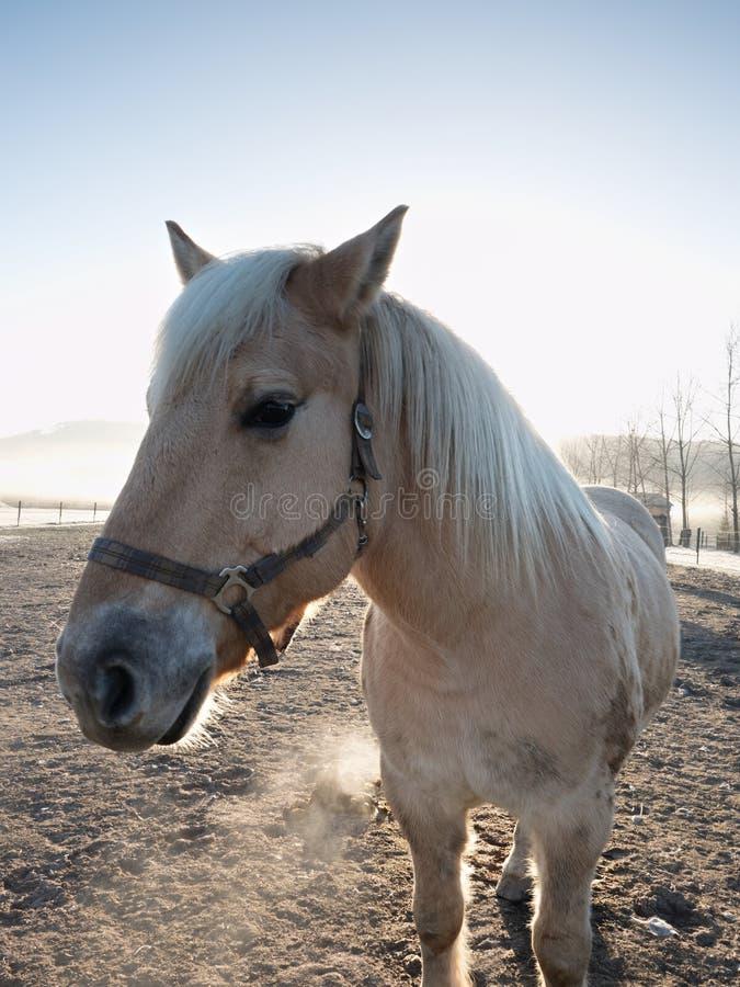 Den tysta vita hästen går den leriga coopen Kall nedgång royaltyfri fotografi
