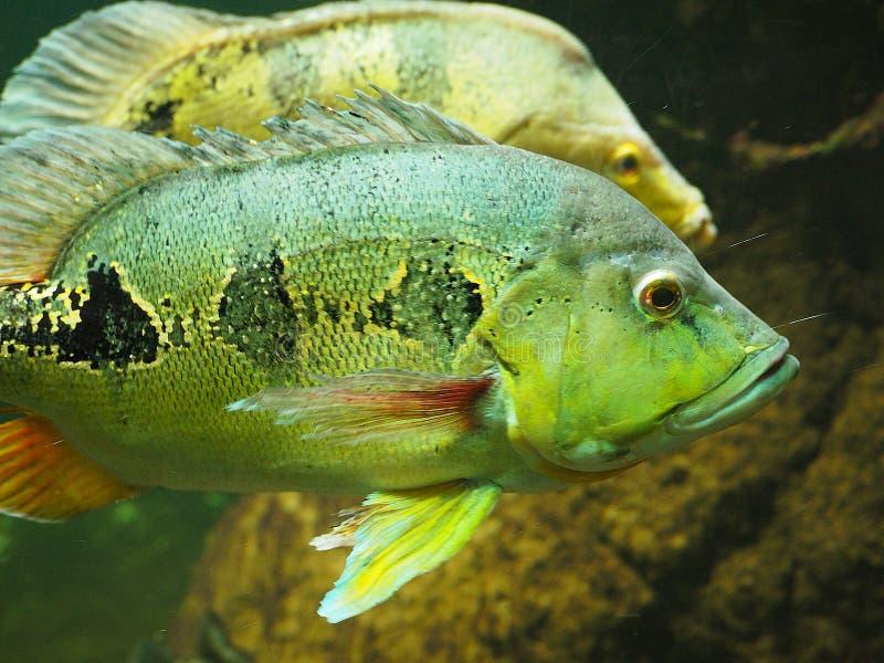 Den undervattens- forsen av en rolig fisk med den öppna munnen som bötfäller i blått bevattnar fri royaltyfri fotografi