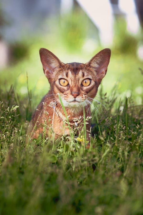Den unga Abyssinian katten ligger i gräset i bakhåll, jagar royaltyfria bilder