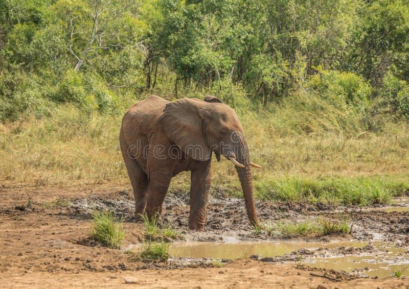 Den unga afrikanska savannahelefanttjuren på en waterhole som besprutar gyttja på hans kropp som solskydd på den Hluhluwe iMfoloz royaltyfri foto