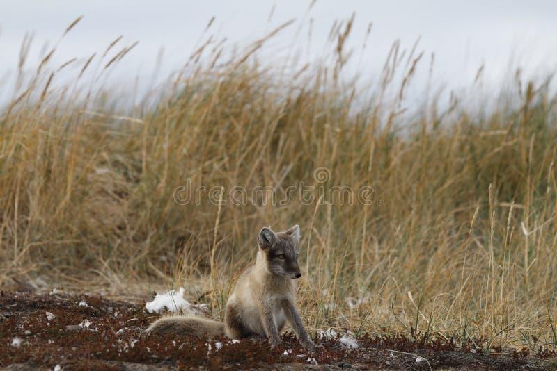Den unga arktiska räven, VulpesLagopus, i nedgång färgar att stirra av in i avståndet nära dess håla fotografering för bildbyråer