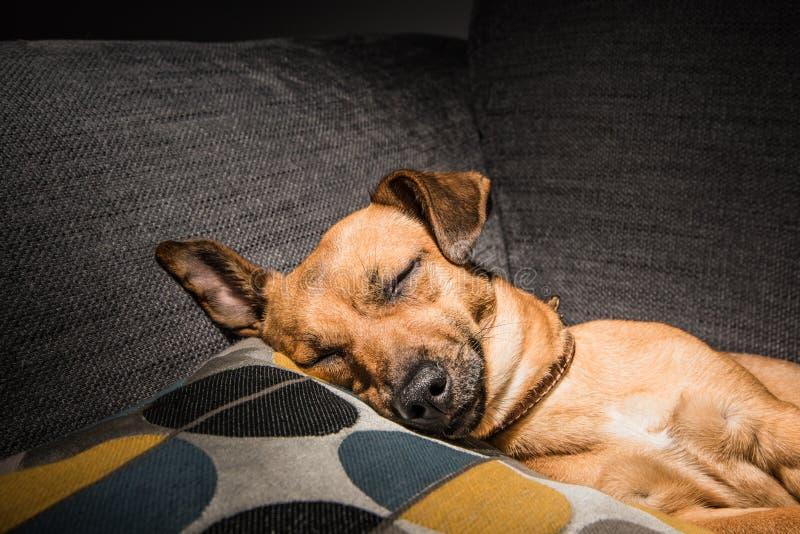 Den unga bruna hunden som sover på en soffa - gulligt husdjurfotografi - räddningsaktionhunden kopplade av fotografering för bildbyråer