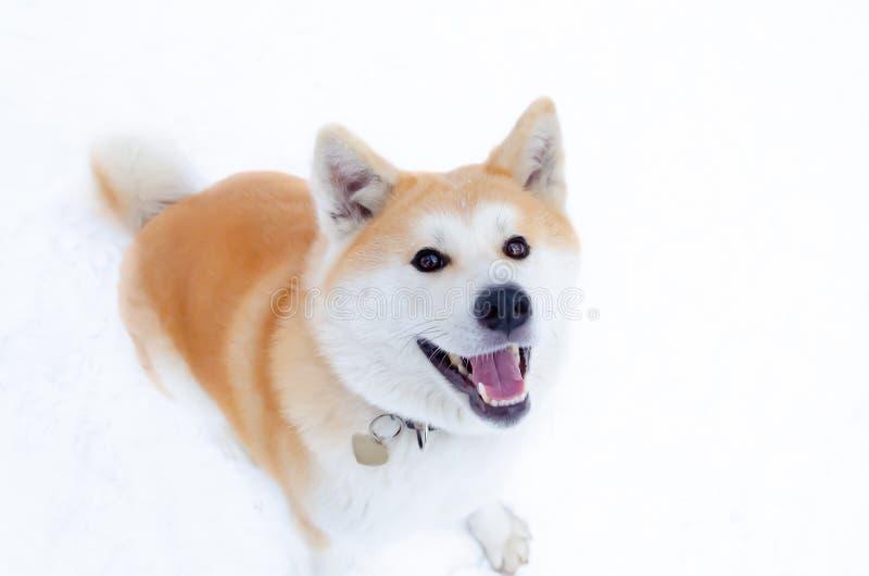 Den unga driftiga Akita hunden för går Gå utomhus i vintern arkivbild