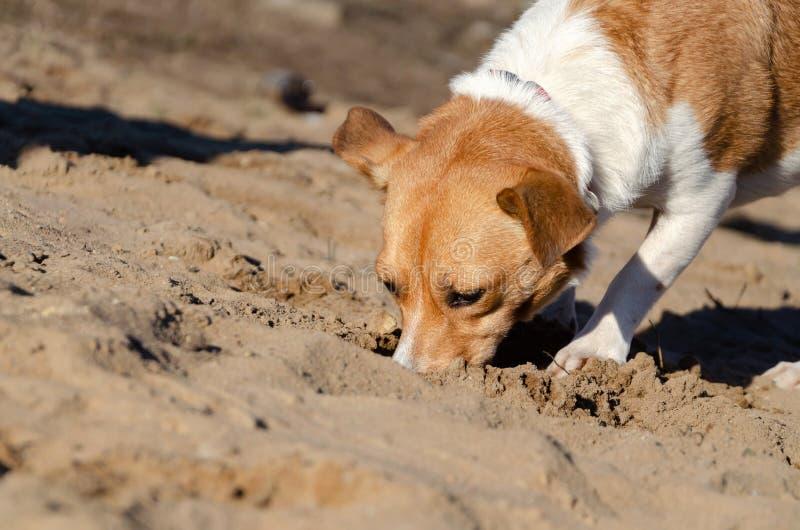 Den unga driftiga halvblods- hunden g?r Hur man skyddar ditt husdjur från hyperthermia royaltyfri fotografi