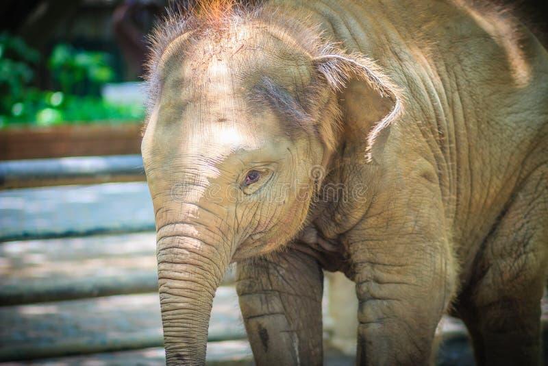 Den unga elefanten kedjas fast, och det ögat med revor ser så ömkansvärt arkivfoto