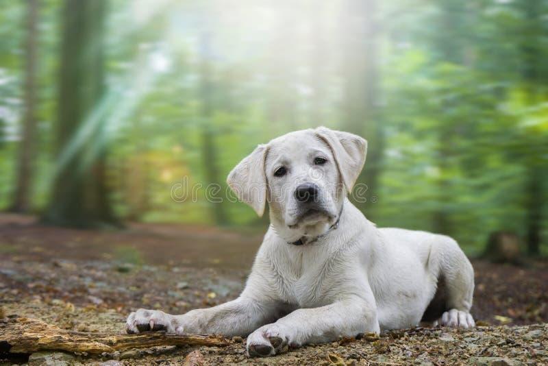Den unga gulliga vita labrador retriever hundvalpen ligger på jordningen av skogen arkivfoton