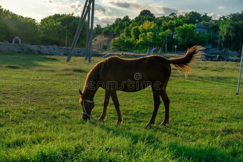 Den unga hästen som betas royaltyfri bild