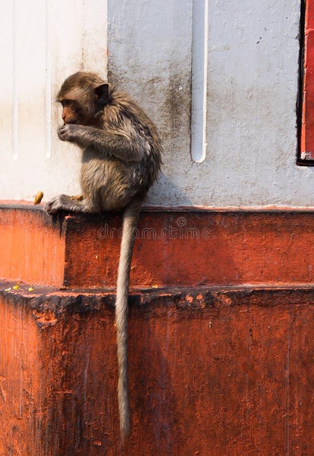 Den unga isolerade apakrabban som äter macaquen, Macacafascicularis med den långa svansen som sitter på, sticker ut av en husvägg arkivbild