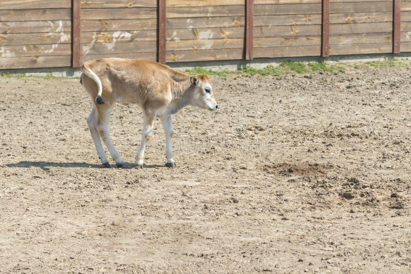 Den unga kalven lär att gå En gullig kalv står i ett träskjul i byn och blickar in i linsen En ko står inom en ranch fotografering för bildbyråer