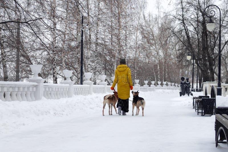 Den unga kvinnan går i en snöig vinter parkerar med hennes två hundkapplöpning arkivbilder