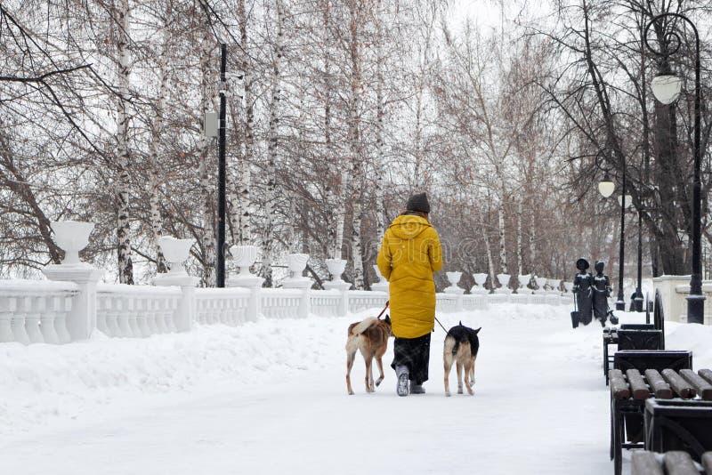 Den unga kvinnan går i en snöig vinter parkerar med hennes två hundkapplöpning tillbaka sikt royaltyfria foton