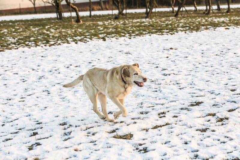 Den unga labrador hunden tycker om det snö täckte fältet fotografering för bildbyråer