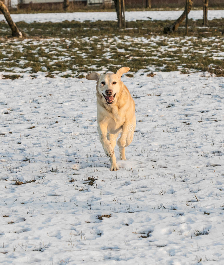 Den unga labrador hunden tycker om det snö täckte fältet royaltyfria bilder