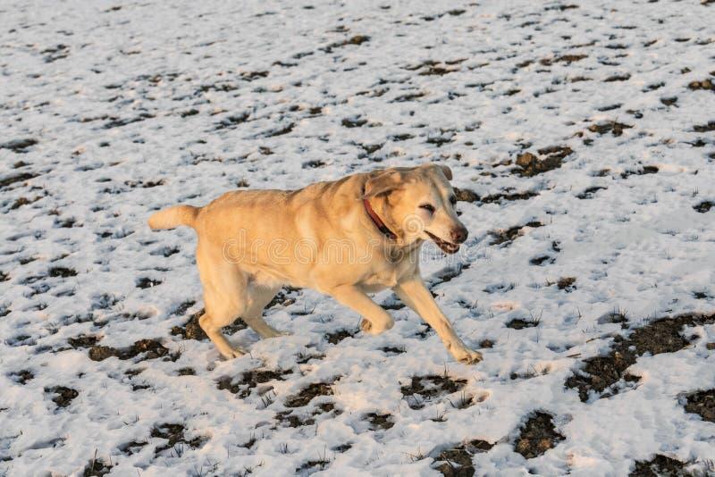 Den unga labrador hunden tycker om det snö täckte fältet royaltyfri foto