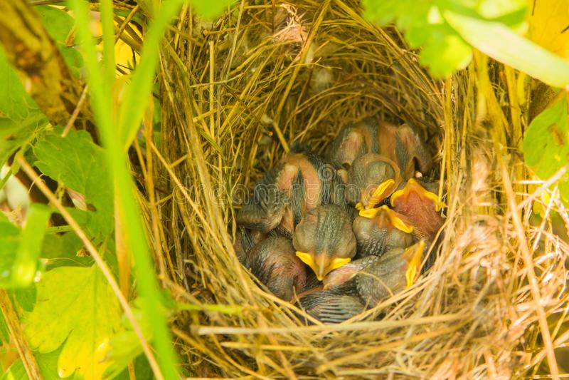 Den unga lilla fågeln en blind fågelunge kräver mat med en ljus gul näbb i ett rede som döljas i gräset från rovdjur royaltyfri foto