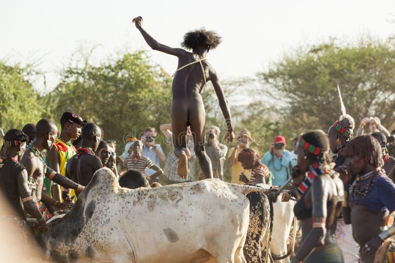 Den unga mannen hoppar av tjurarna Turmi Omo dal, Etiopien fotografering för bildbyråer