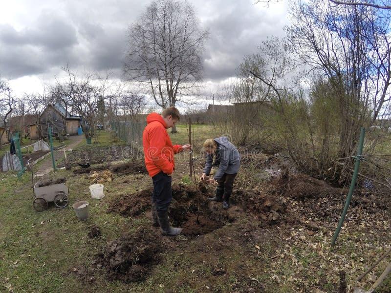 Den unga mannen och kvinnan planterar ett fruktträdungt träd i det förberedda hålet i den fuktiga jorden på våren royaltyfria bilder