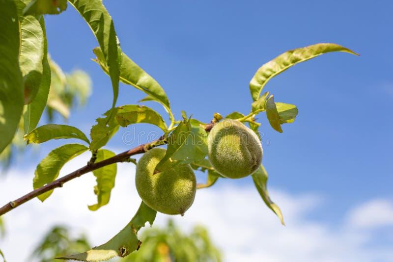 Den unga persikan mognar på trädet fotografering för bildbyråer