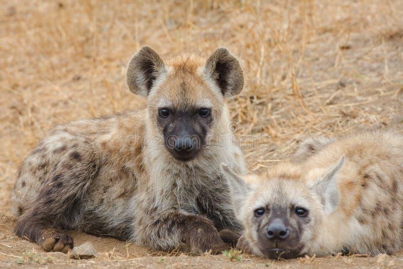 Den unga prickiga hyenan som ner ligger, poserar, den Kruger nationalparken, Sydafrika arkivfoto