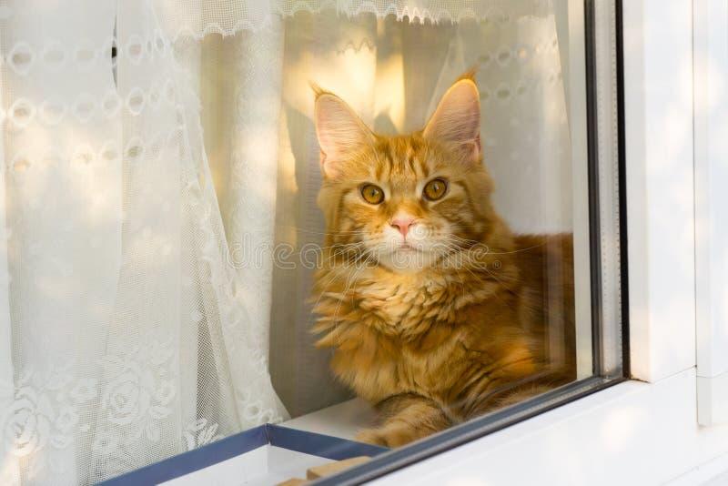 Den unga röda katten av den Maine Coon aveln rev gardinen och att ligga på arkivbild