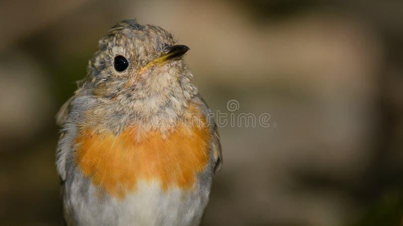 Den unga rödhakeErithacusrubeculaen sitter på fågelbrunnsorten i träna fotografering för bildbyråer