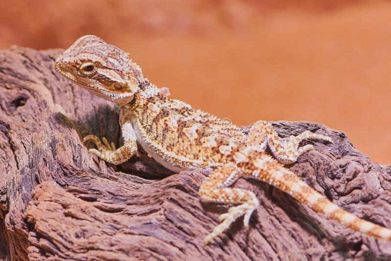Den unga skäggiga draken, stänger sig upp färgbild royaltyfri fotografi
