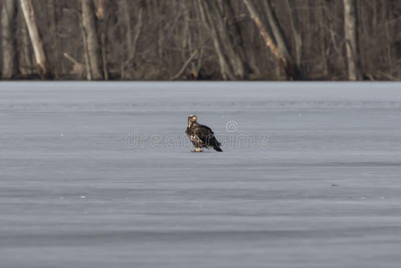 Den unga skalliga Eagle på den djupfrysta sjön arkivbilder