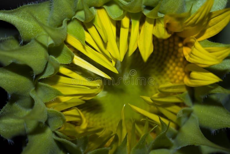 Den unga solrosen mognar och öppnar arkivfoton