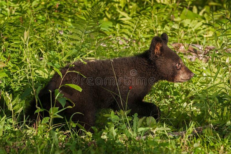 Den unga svarta björnen (den americanus ursusen) kör rätt till och med gräs arkivbilder