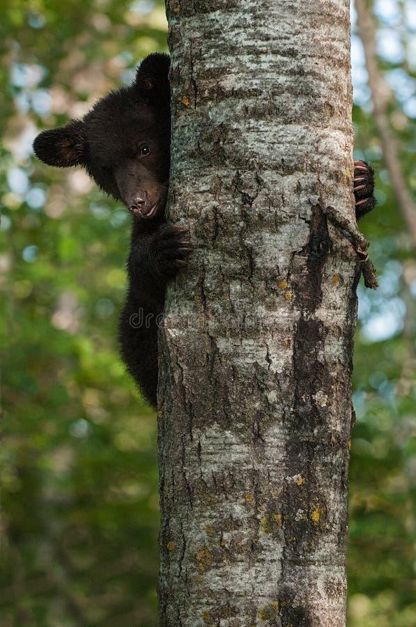 Den unga svarta björnen (den americanus ursusen) kikar runt om trädstammen arkivbild