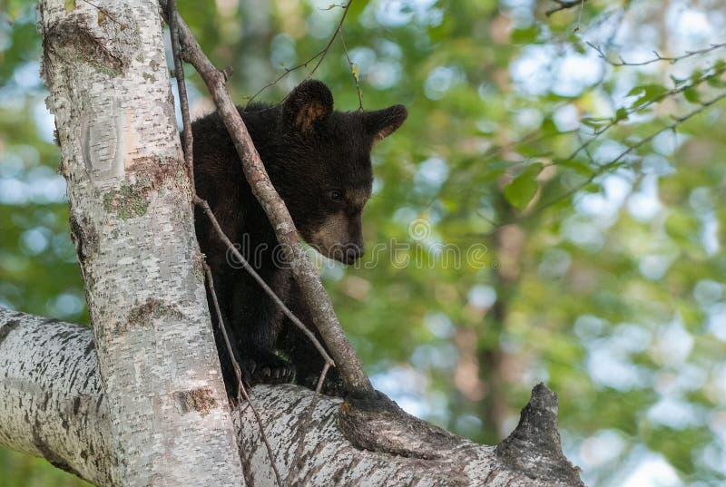 Den unga svarta björnen (den americanus ursusen) sitter i träd royaltyfri bild