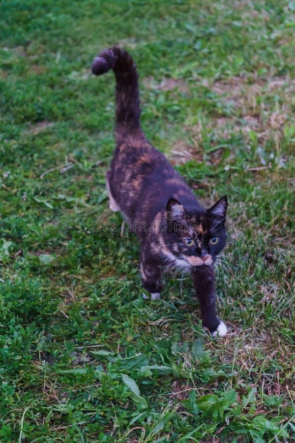 Den unga svartvita katten går i landsgården arkivbilder
