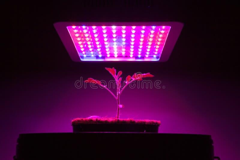 Den unga tomatväxten under LED växer ljus arkivbilder