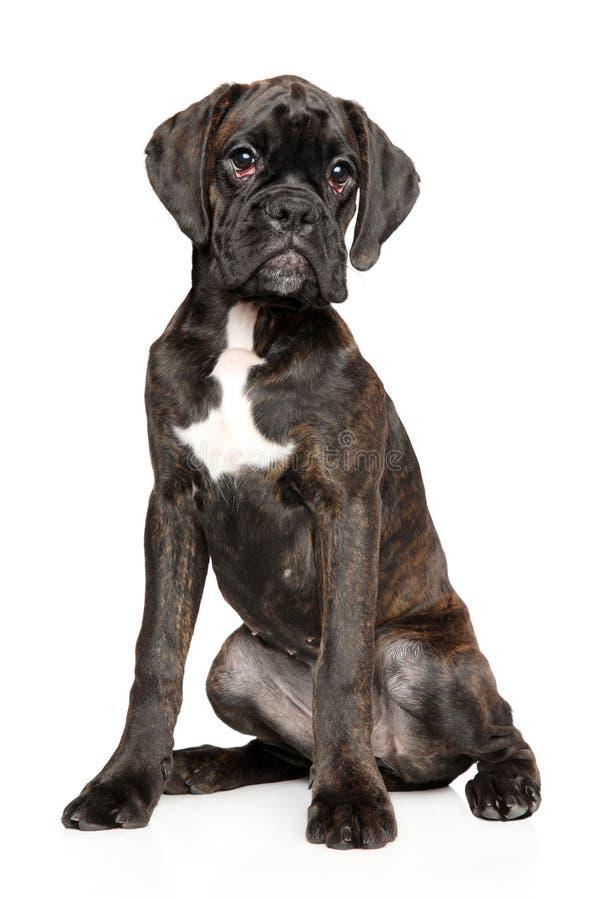 Den unga tyska boxarehunden sitter på vit bakgrund royaltyfria foton