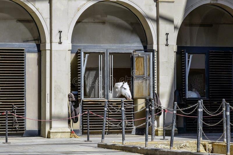 Den unga vita hästen ser ut ur fönstret av ett stall som lokaliseras i den historiska mitten av Wien _ royaltyfri foto