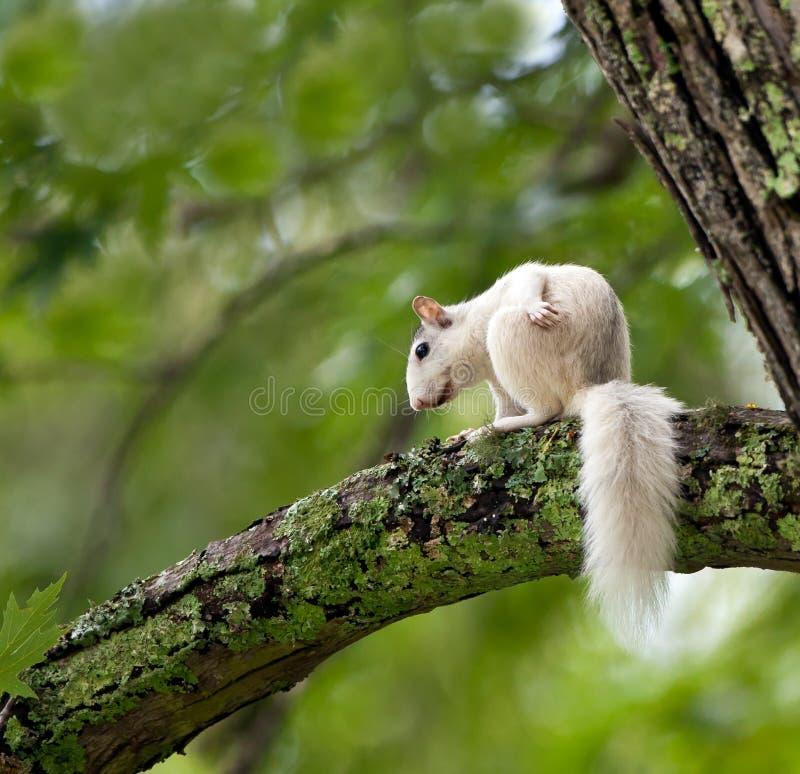 Den unika vita ekorren sitter i träd royaltyfri fotografi