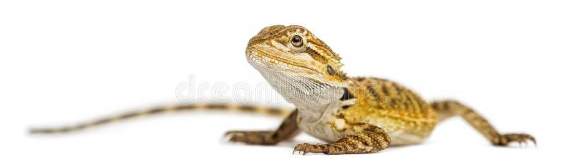 Den uppsökte draken, Pogona vitticeps, isolerar på vit royaltyfri foto