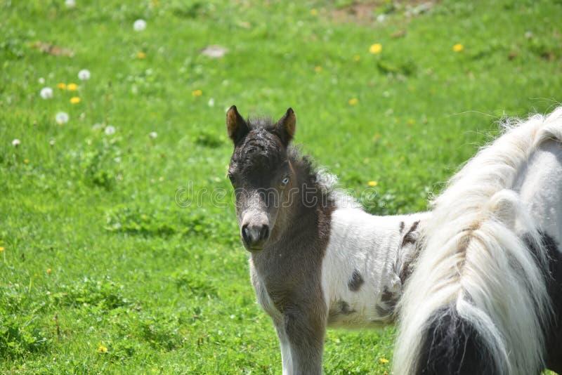 Den ursnygga vit- och svartminiatyrhästen i ett gräs betar arkivfoton