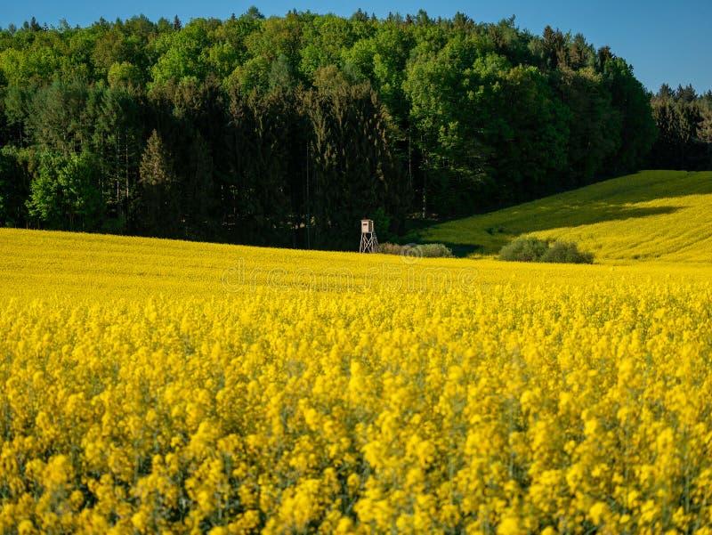 Den utöver det vanliga sikten våldtar på blommafältet på en solig dag med blå himmel royaltyfri foto