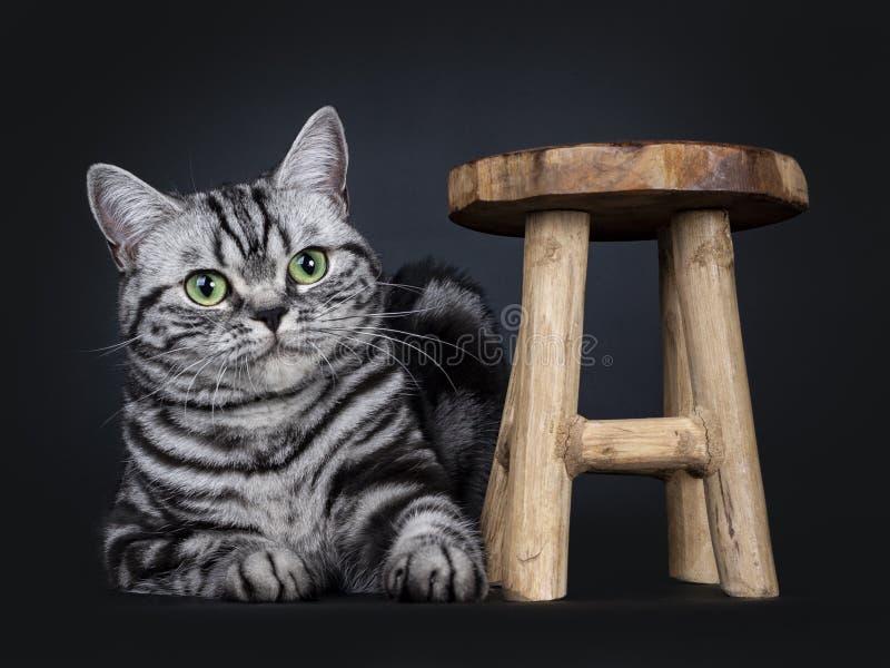 Den utmärkta svarta strimmiga katten försilvrar den flammiga brittiska Shorthair kattkattungen som isoleras på svart bakgrund fotografering för bildbyråer
