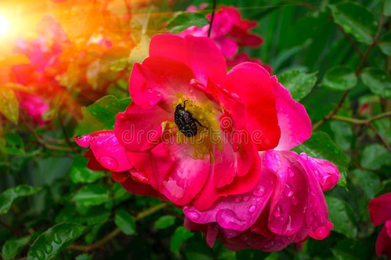 Den utskjutande plågan äter rosa färgrosen i dagget fotografering för bildbyråer