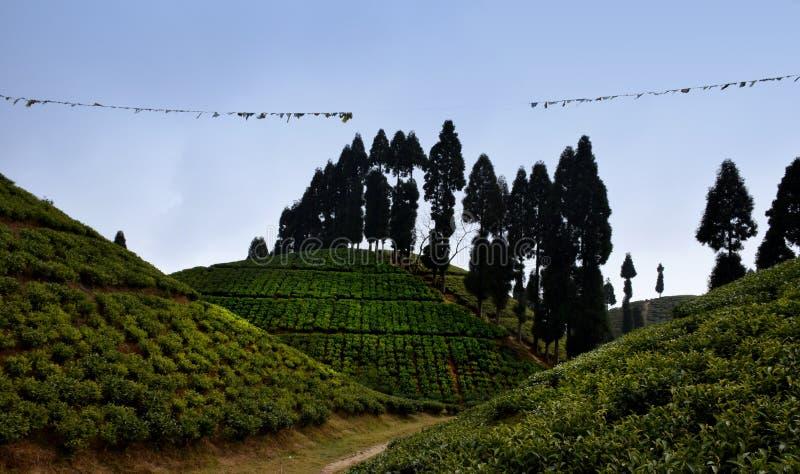 Den väl ansade tekolonin med den nya växten för grönt te lämnar på bergkullen i Darjeeling, västra Benga, Indien arkivbild